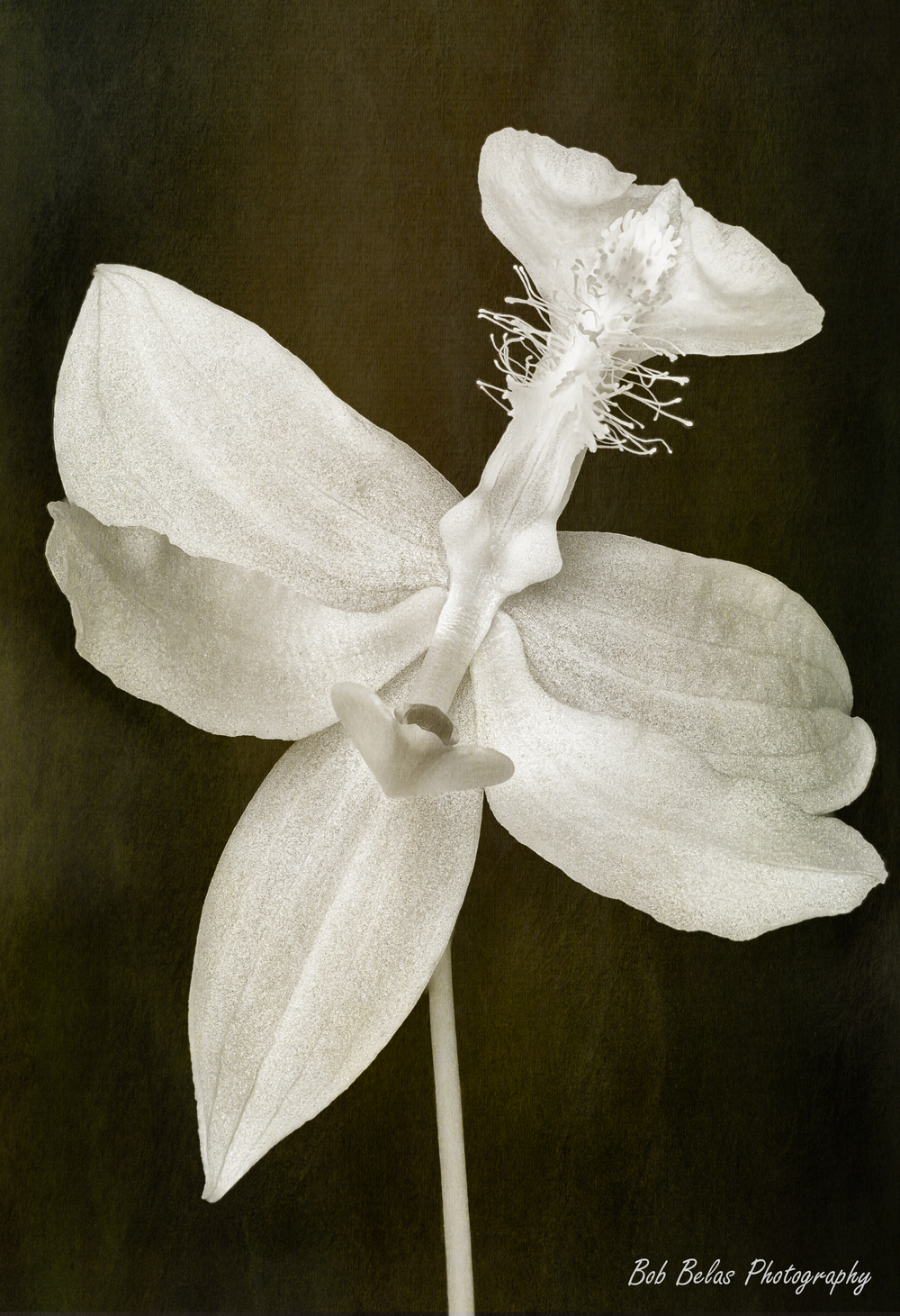 Bog Orchid Monochrome Overlay