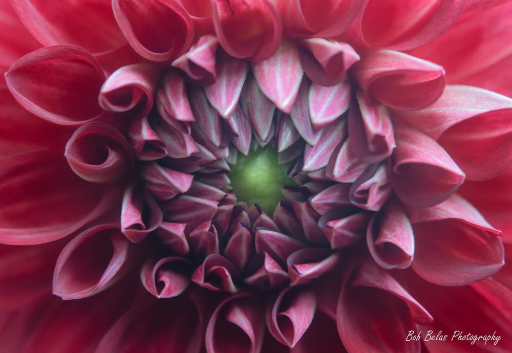 Dahlia Symmetry 1