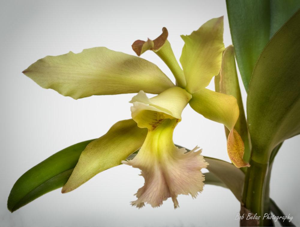 """Orchid """"Helene Belas"""""""