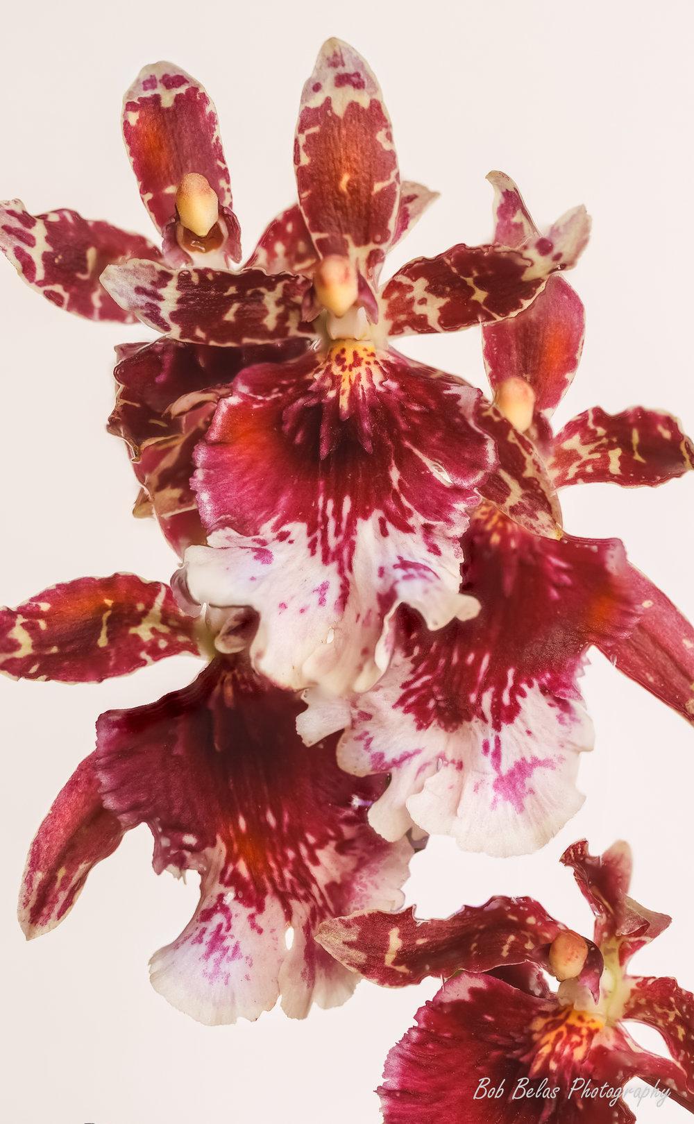"""Orchid Ondoncidium """"Burgundian"""""""