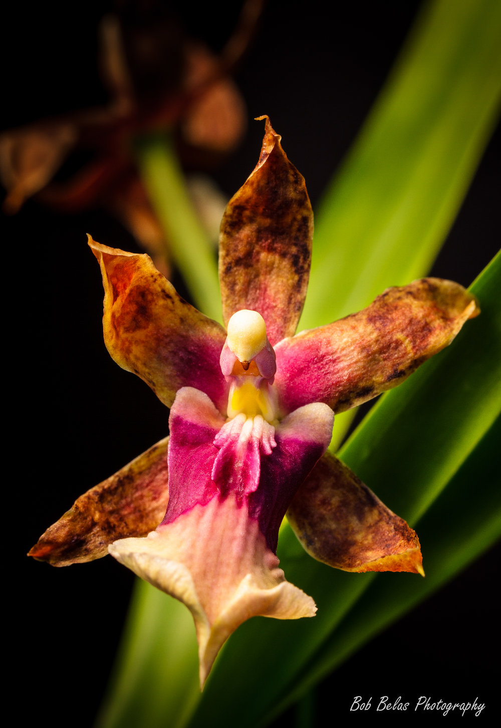 Miltonia clowesii, color