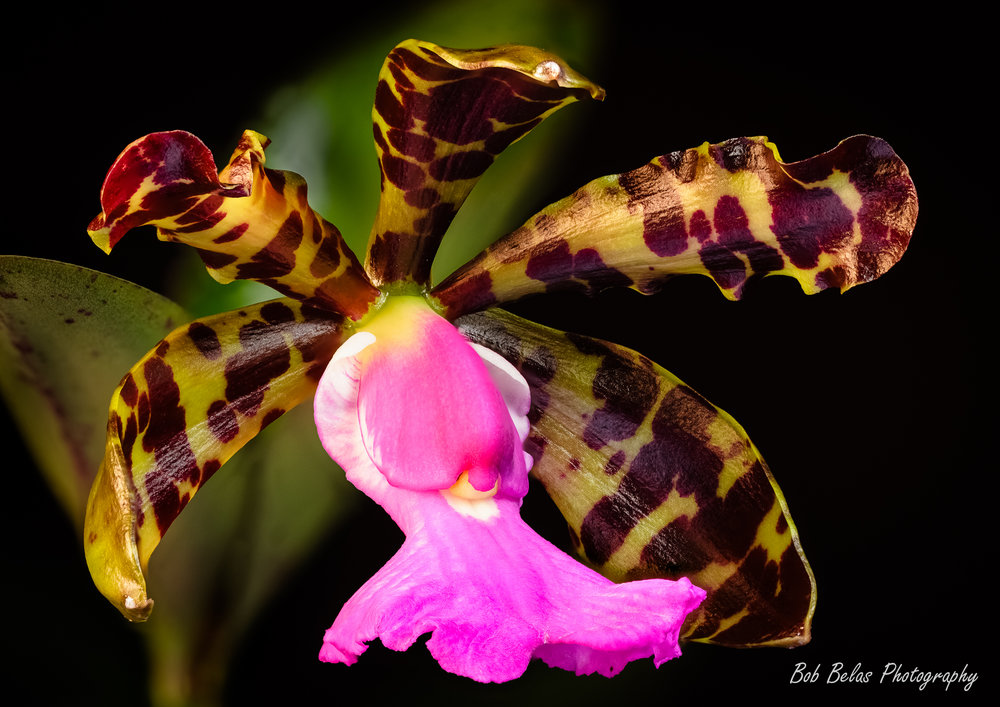 Cattleya aclandiae, color