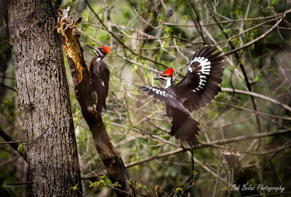 Pileated Woodpeckers, color