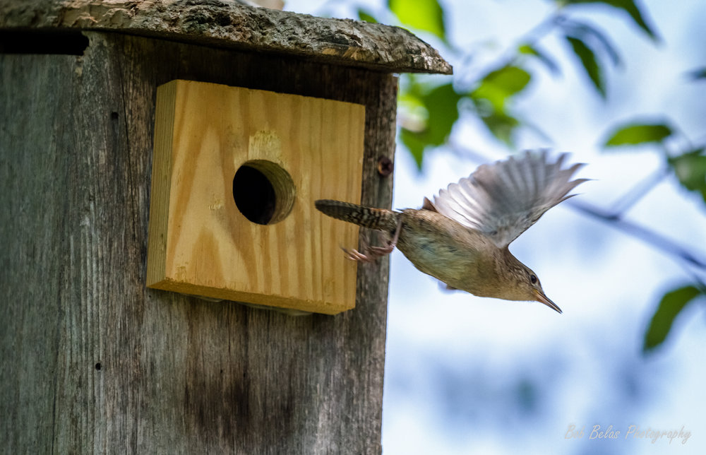 House Wren Takes Off, color