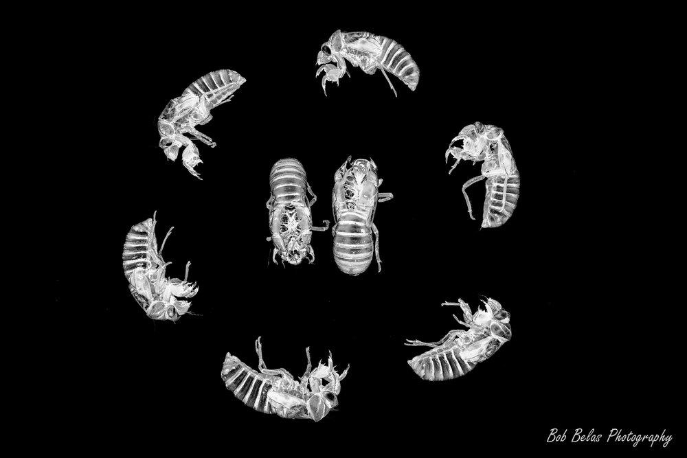 Cicada Dance, b/w
