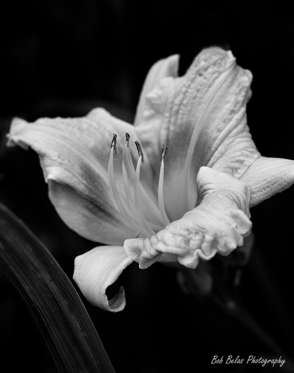 Day lily #1, black and white