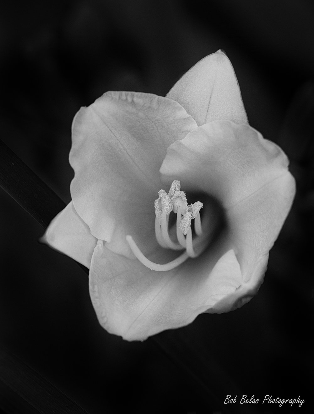 Day lily #2, black and white