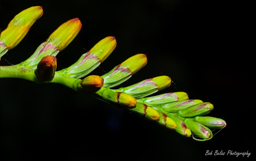 Crocosmia buds 1, color