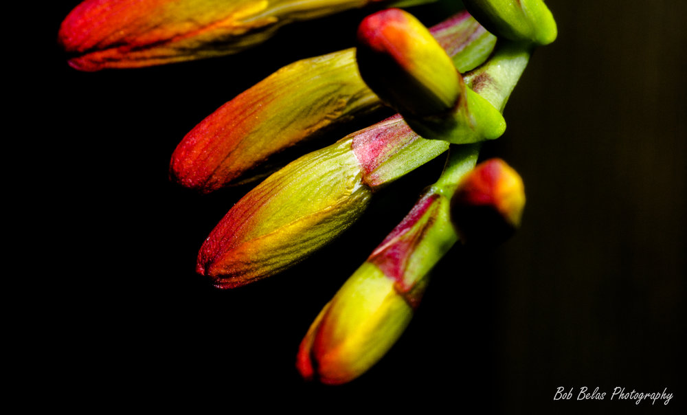Crocosmia buds 4, color