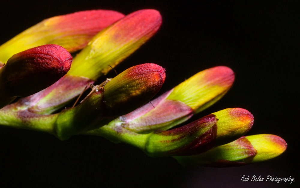 Crocosmia buds 5, color