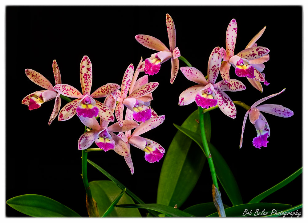 "Laeliacattleya ""Tropical Pointer Spot"", color"