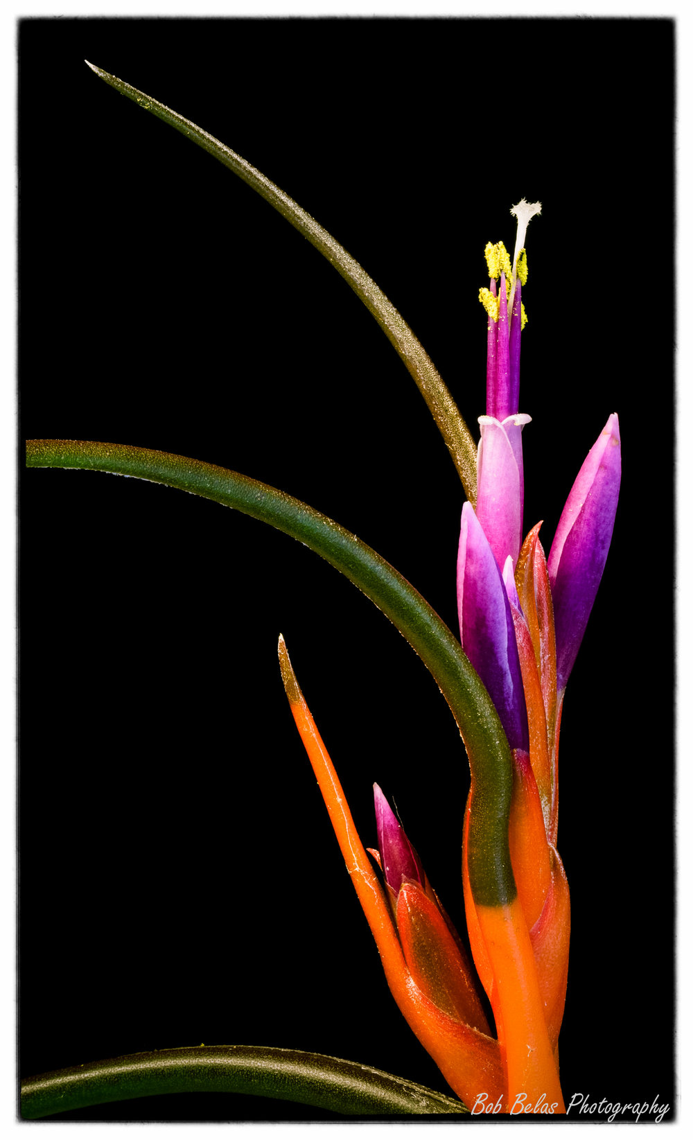 Tillandsia bulbosa, color