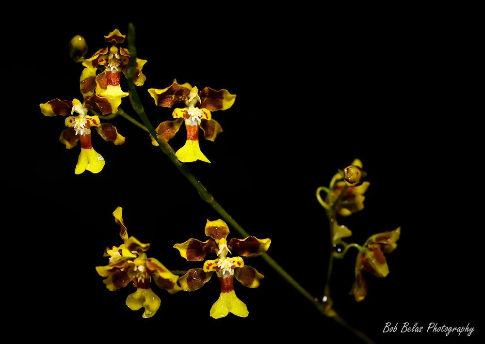 Oncidium boothianum, color