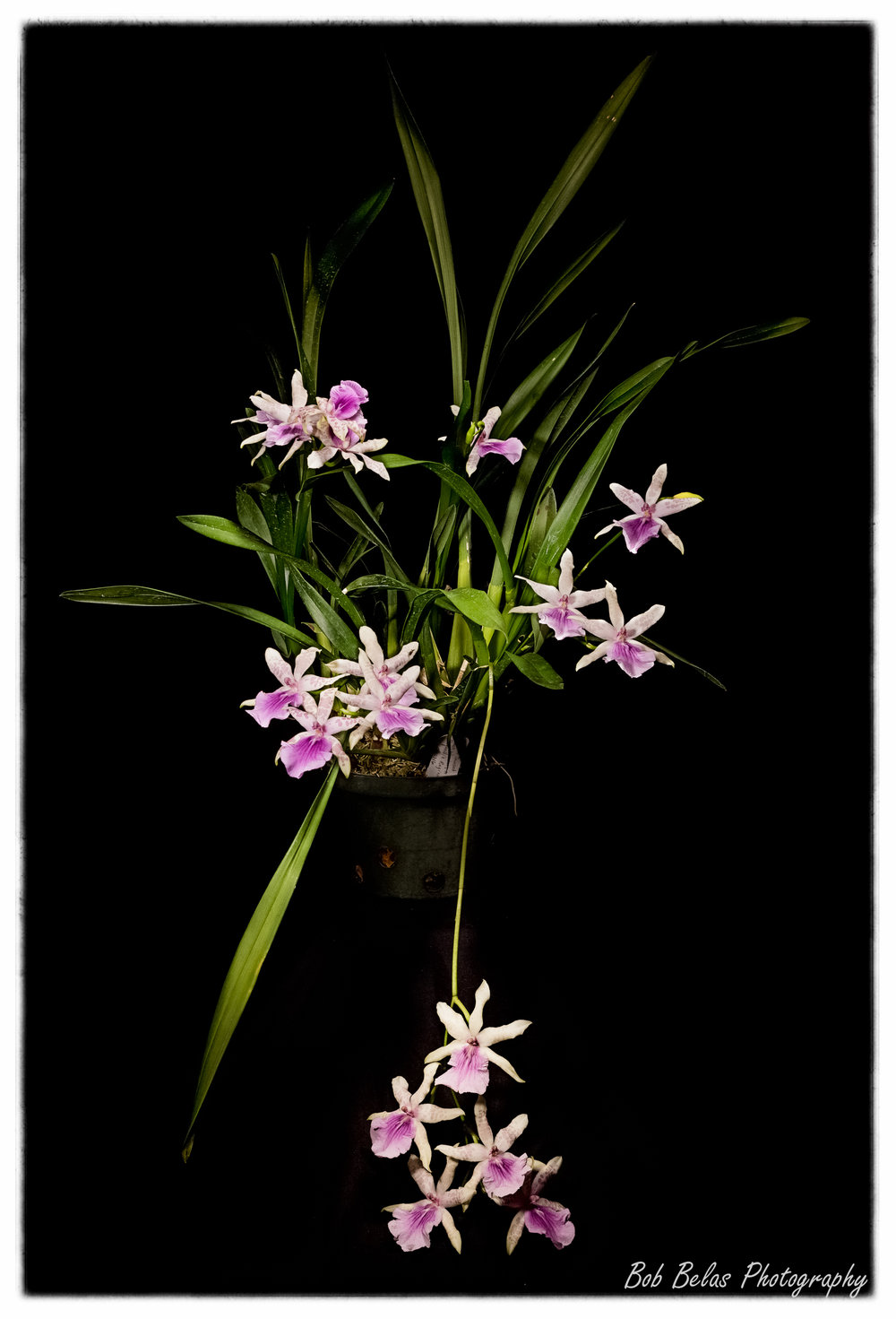 Miltonia sunset.jpg