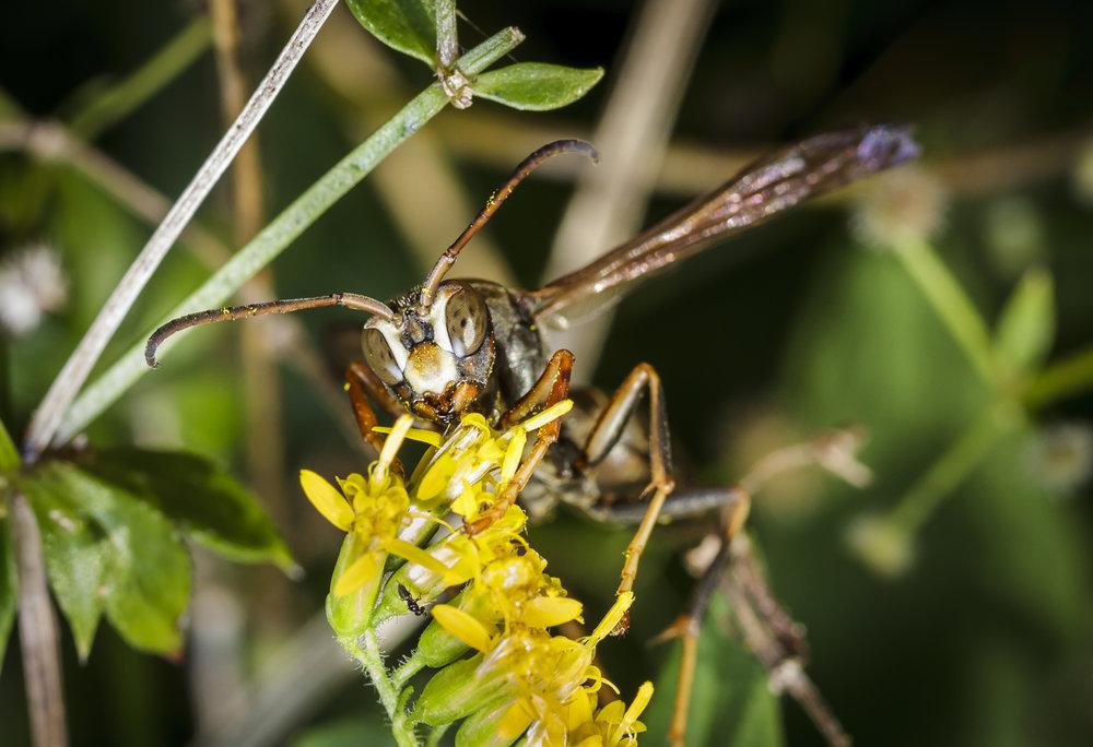 Hornet On Goldenrod