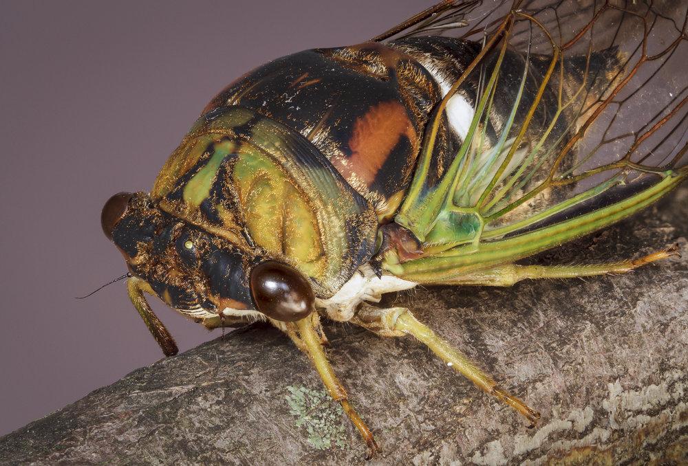 Cicada Macro #1