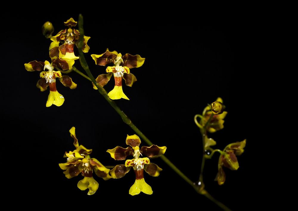 Oncidium boothianum