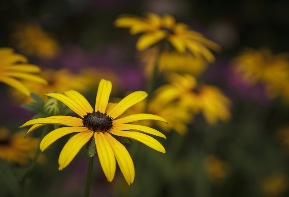 Black-eyed Susans At Dusk