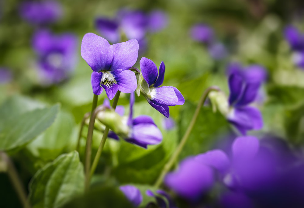 Field Of Violets