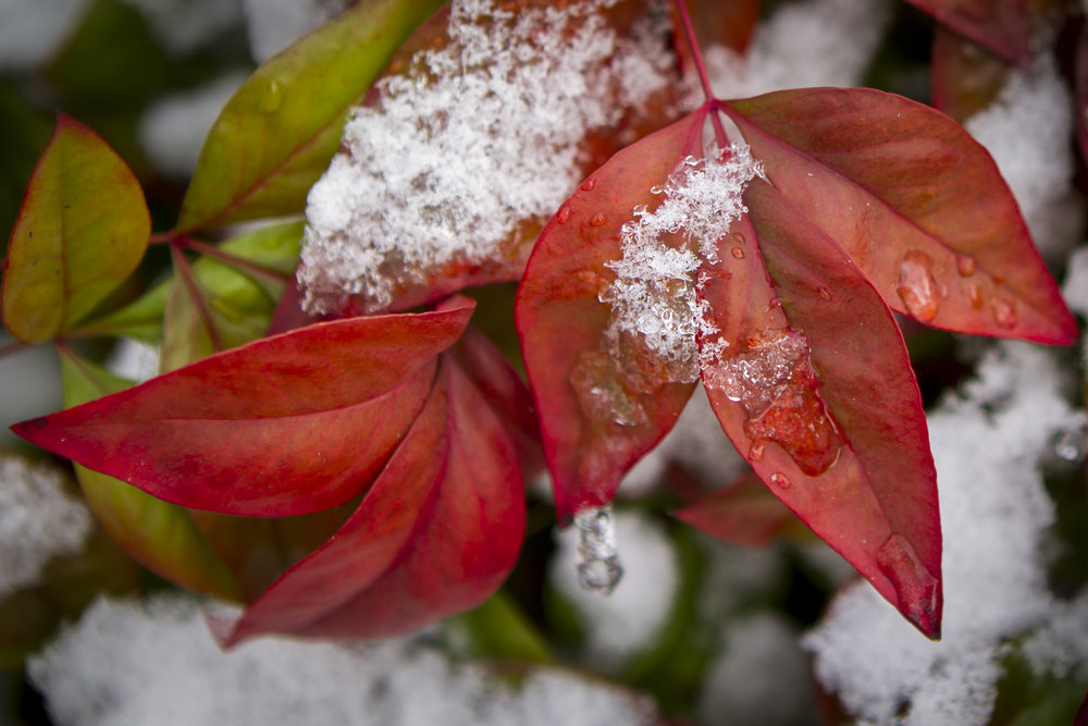 Snow On Nandina