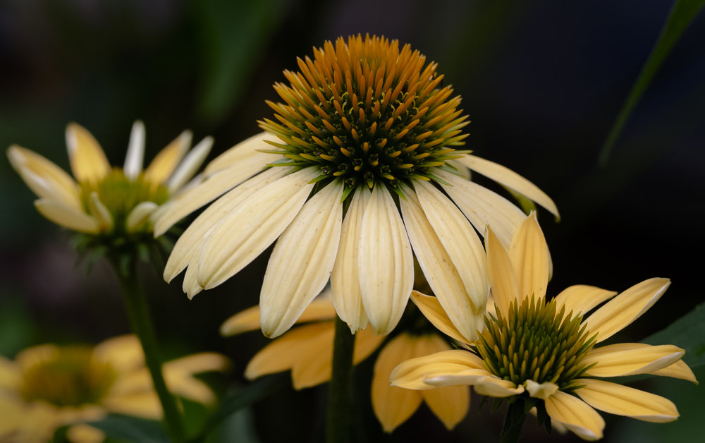 Pale Yellow Coneflower
