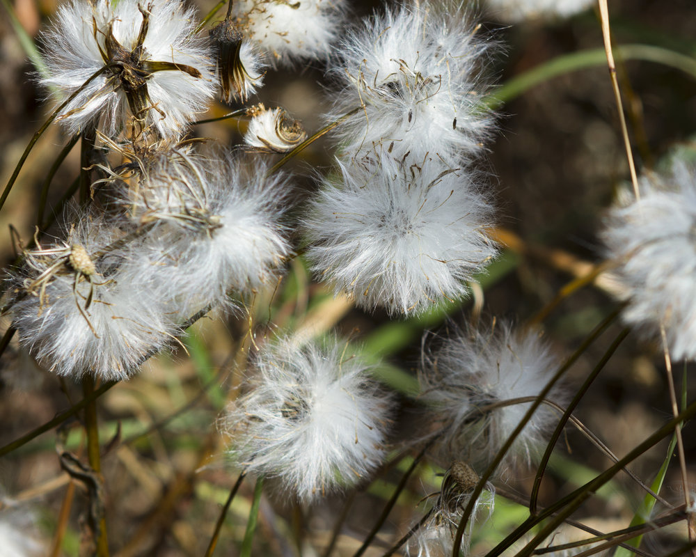 Wild Aster Seed Pods