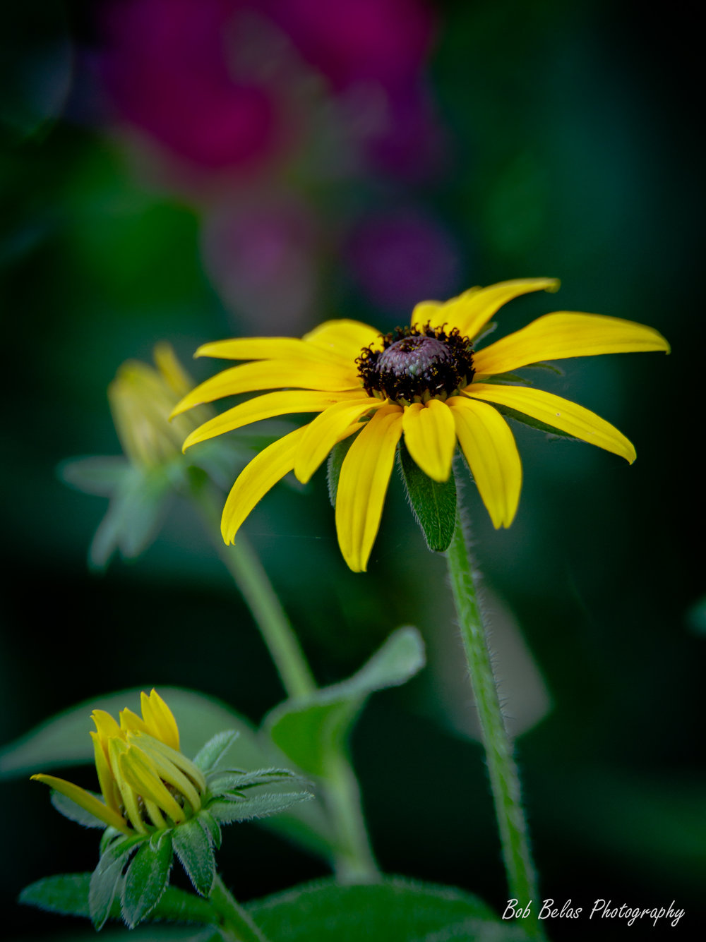 Black-eyed Susan At Dusk #2