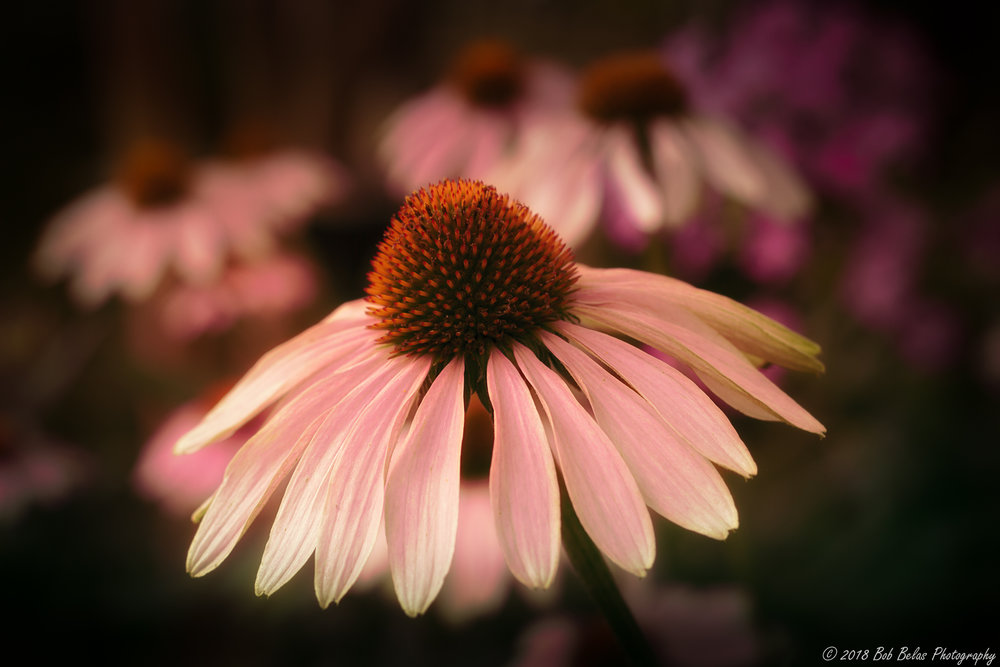 Evening coneflower, color