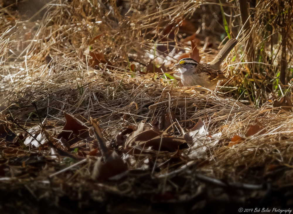 White-throated sparrow, color