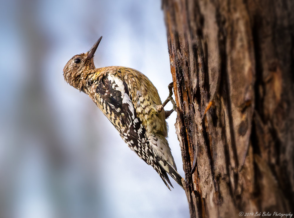 Immature Red-bellied Woodpecker, color