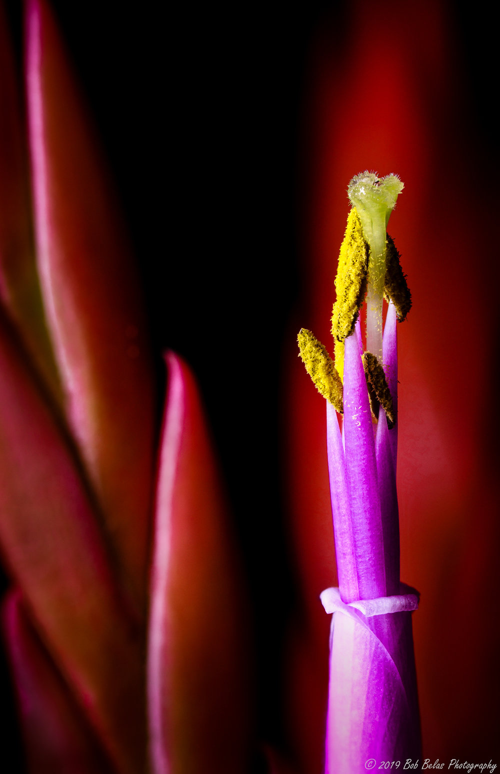 Tillandsia caput medesu, color