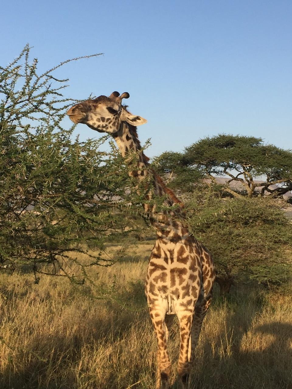 Giraffe nibbling acacia leaves in the Kilimanjaro foothills.
