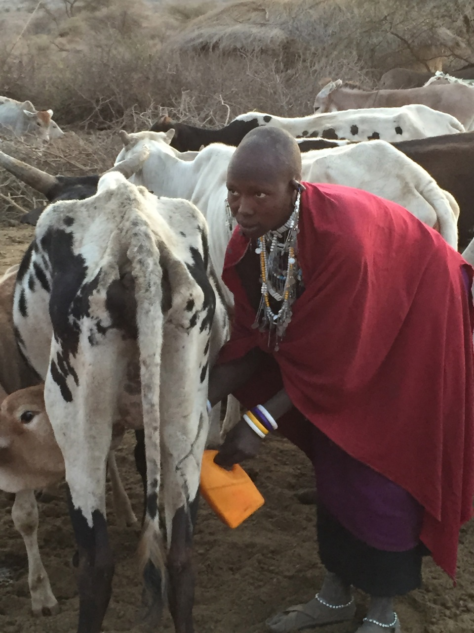 Masai woman milking a cow in her village in the foothills of Mt. Kilimanjaro.