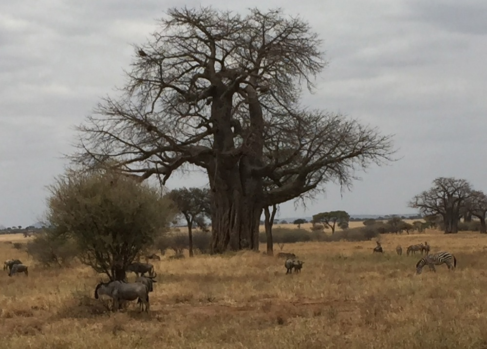 Zebras and wildebeests grazing at Tanangire National Park, with baobab trees in the background.