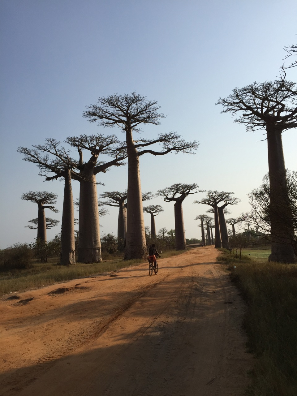 Avenue of the Baobabs in early morning, about 5 km outside of Morondava.