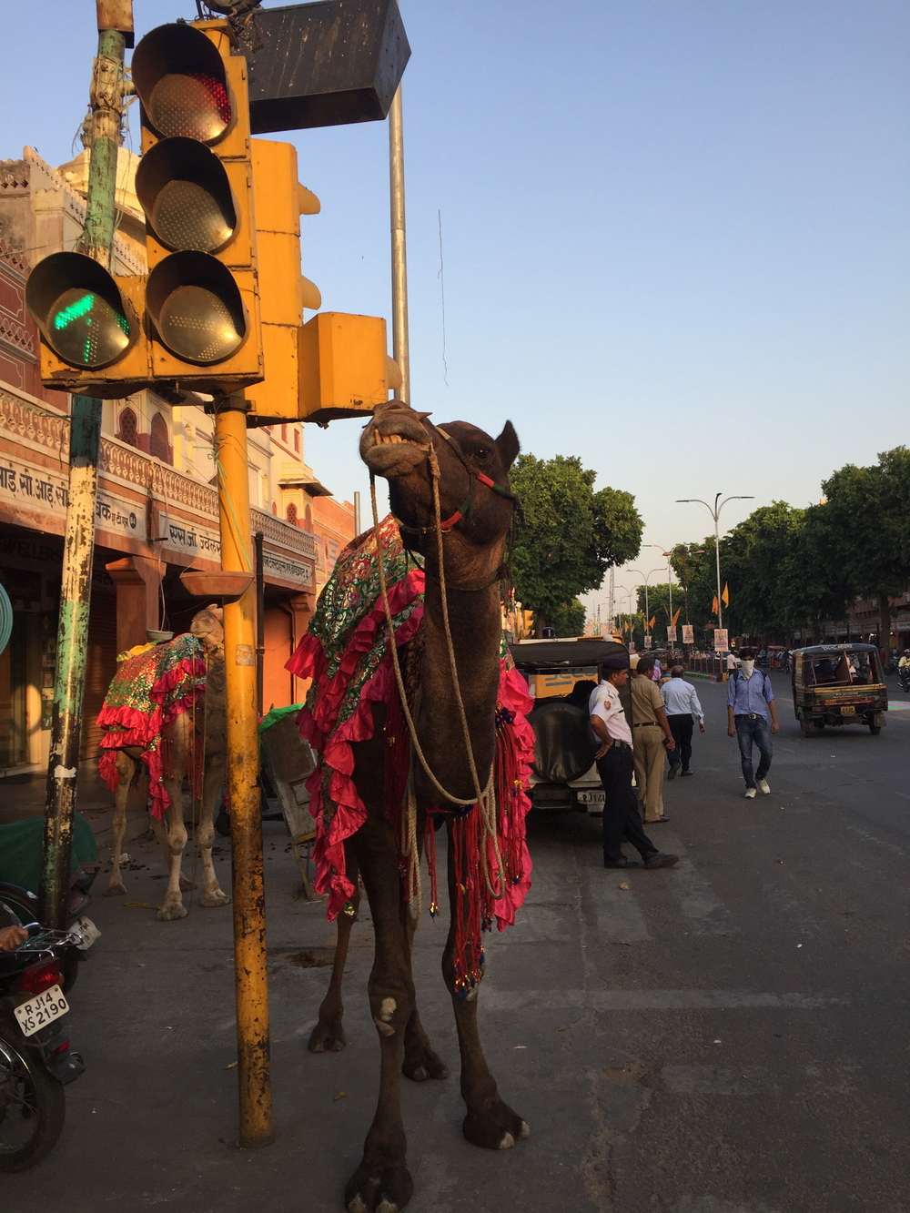Camel waiting for a traffic light to change in Jaipur, India.