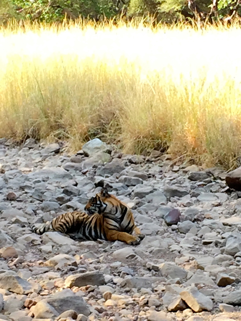 One of the two young male Bengal tigers we viewed on our early morning drive in Rathambore National Park.