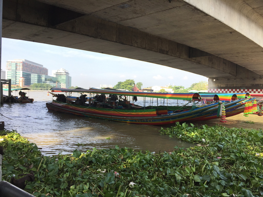 Bangkok's ChaoPraya River is choked with invasive water hyacinth.