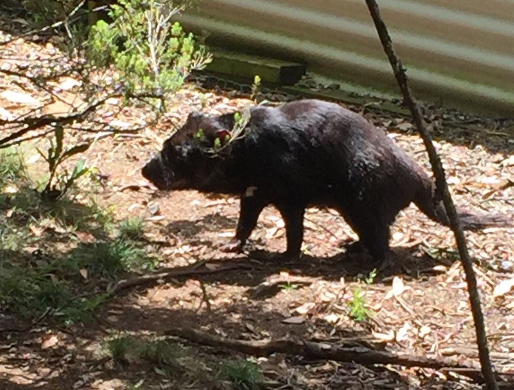 This is a Tasmanian Devil, endemic to Tasmania, now endangered due to a contagious cancer that causes fatal facial tumors. Efforts are underway to conserve and breed the animal in reserves like the one at Cradle Mountain, until a cure can be found for the disease.