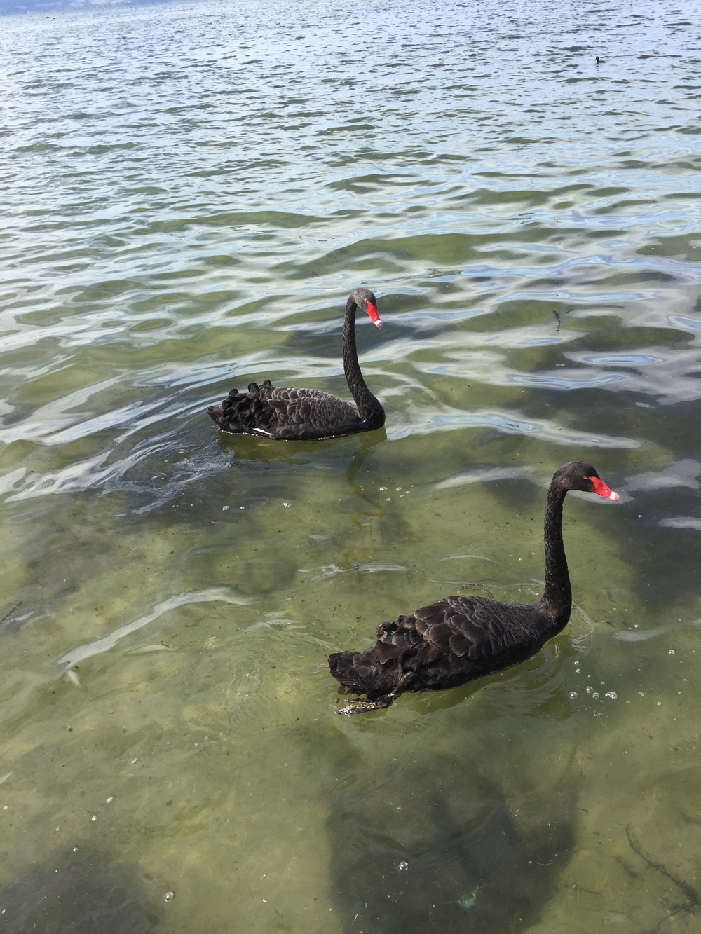 Black swans ( Cygnus atratus)  in Lake Rotorua, New Zealand.