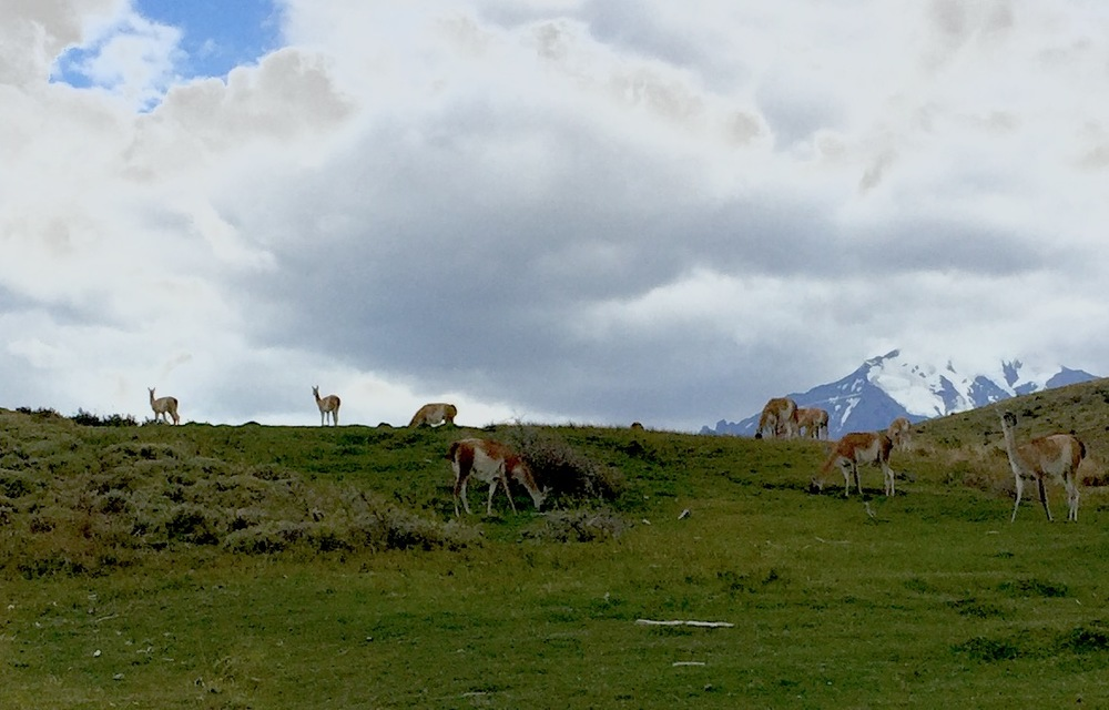 Wild guanacos, which are related to llamas, are native to Patagonia. Here they are grazing on a hillside in front of the snow-capped peaks of Torres de Paine National Park.
