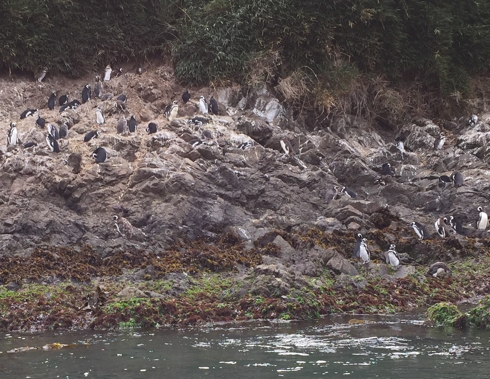 Resident penguins in the Puñihuil Wildlife Sanctuary off the coast of Chiloe Island, Chile.