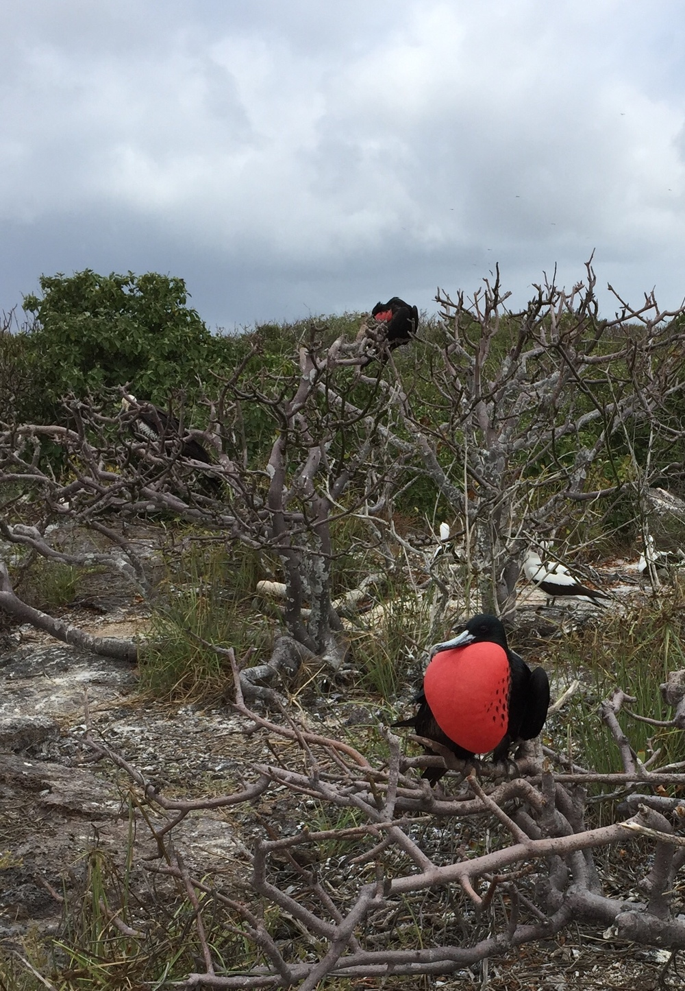 A male frigate bird in all of his red throated glory, as he hopes to attract a mate on Isla Genovesa.