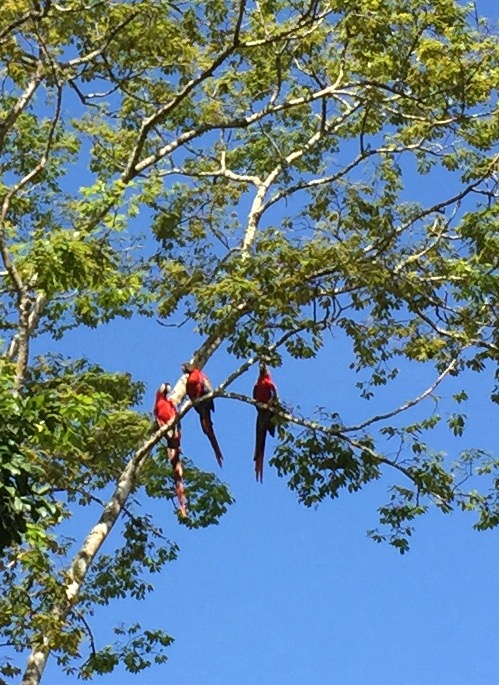 Macaws above entrance to Copán ruins in Honduras. . .and I thought bluejays were noisy!