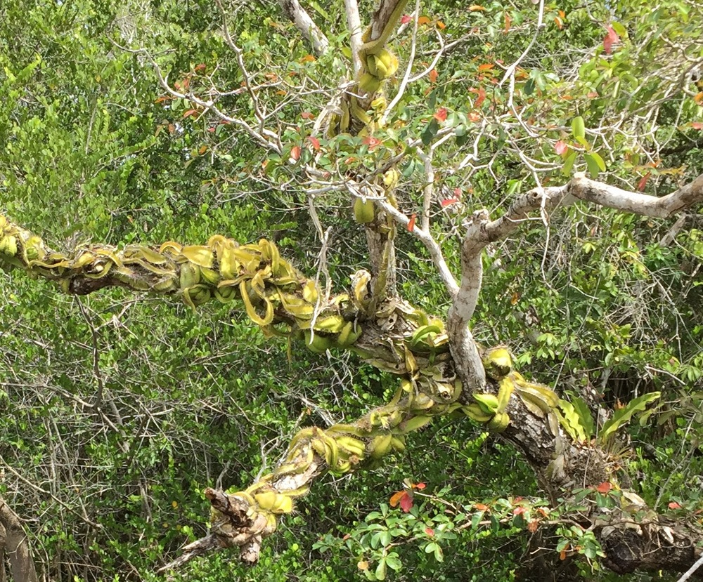 This tree overhanging the New River near Laminai ruins in Beiize is festooned with a snake cactus . . at first I thought it was a huge green snake.