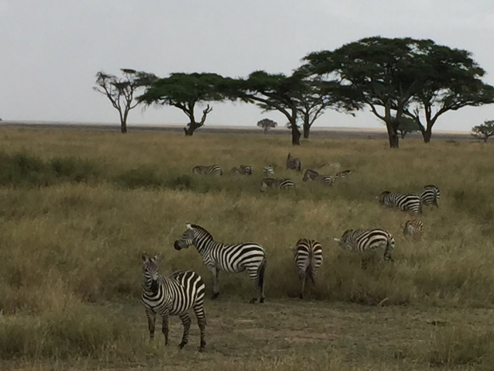 zebras-serengeti.jpg