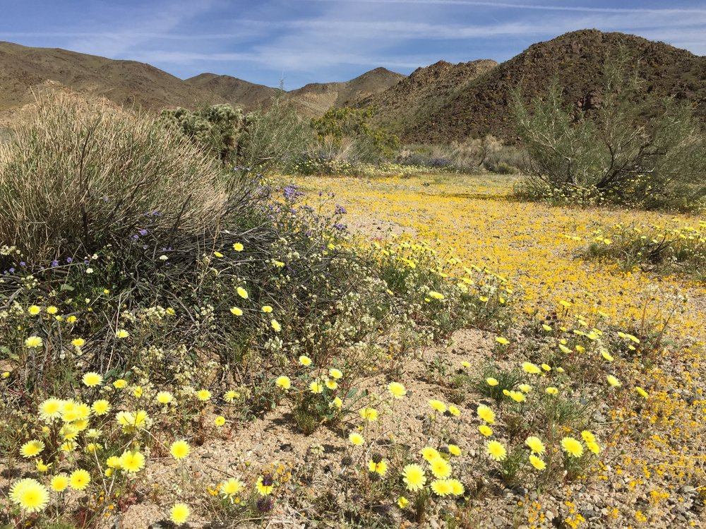 Pale yellow desert dandelions, woolly daisies and blue wild heliotrope near Cholla Gardens, Joshua Tree National Park. Photo by Betsy Herbert, 2017.