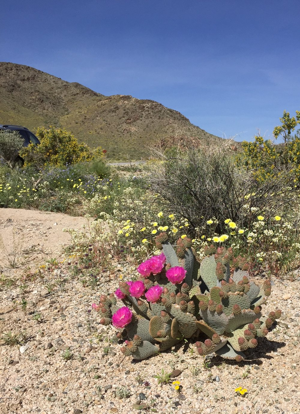 Pink beavertail cactus blooming among desert dandelions near Cholla Gardens, Joshua Tree National Park. Photo by Betsy Herbert, 2017.