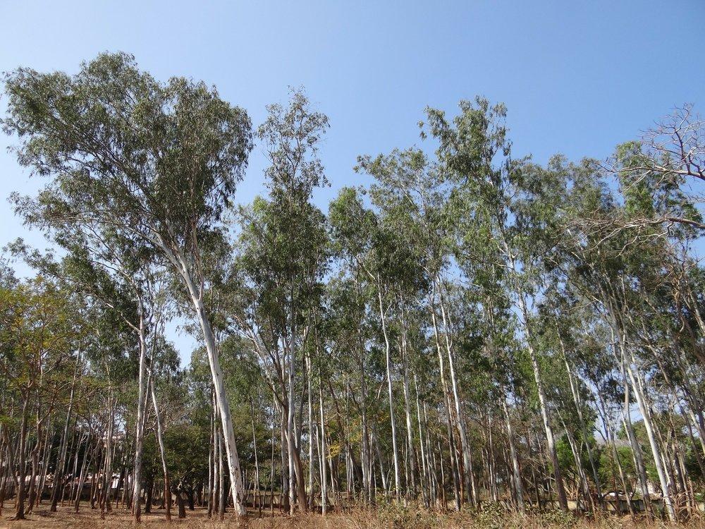 eucalyptus-forest-245072_1920.jpg