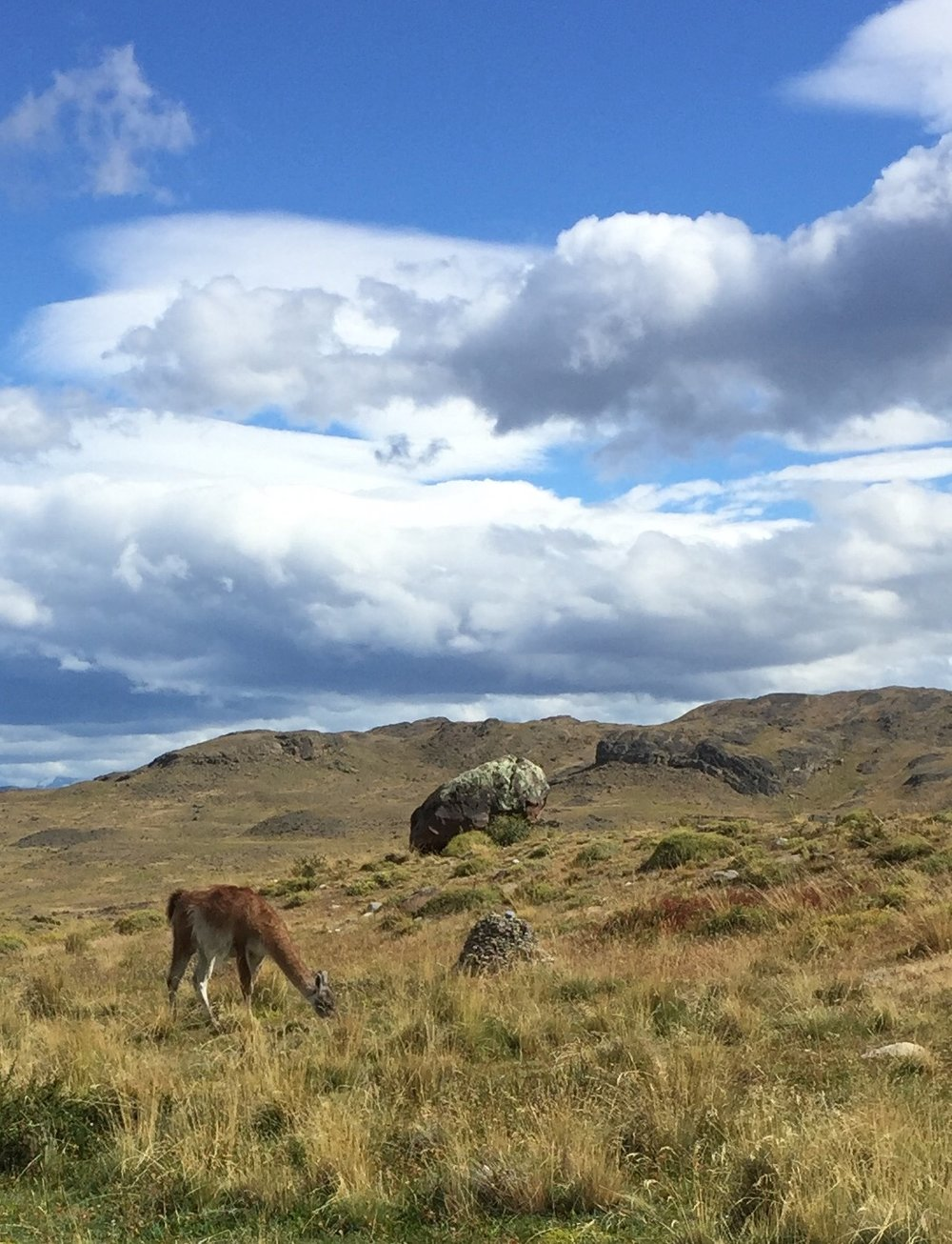 Torres de Paine National Park in Patagonia (Argentina) with native vicuña in the foreground. Photo by Betsy Herbert 2016